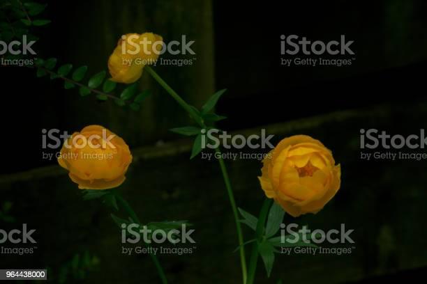 Foto de Trollius Israelknowles Ou Gigante Florzinha e mais fotos de stock de Amarelo