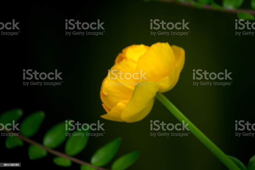 Trollius, globeflower or giant buttercup - Royalty-free Buttercup Stock Photo