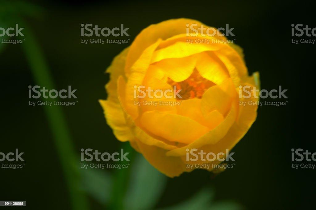 Trollius, globeflower of reus buttercup - Royalty-free Bloem - Plant Stockfoto
