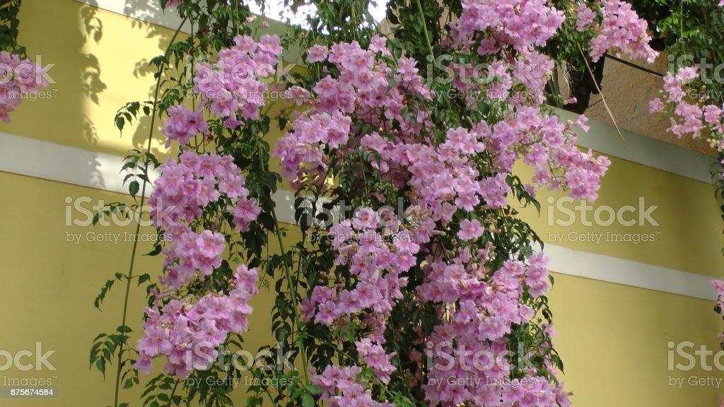 Trompetenblume stock photo