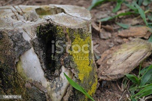 Tronco de uma arvore brasileira cortada e já em decomposição