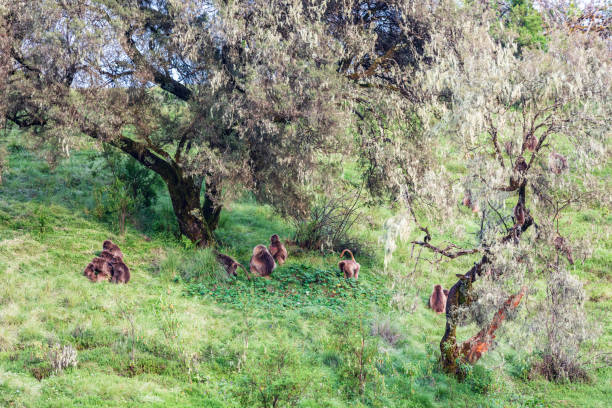 A troop of Gelada baboons under trees stock photo