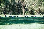 Troop of kangaroos resting and feeding under tree's shadow.