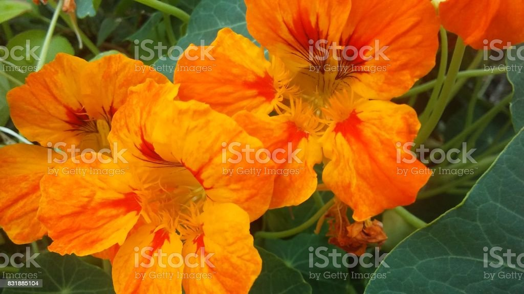 Tropaeolum (nasturtium) Blossoming in Garden. stock photo
