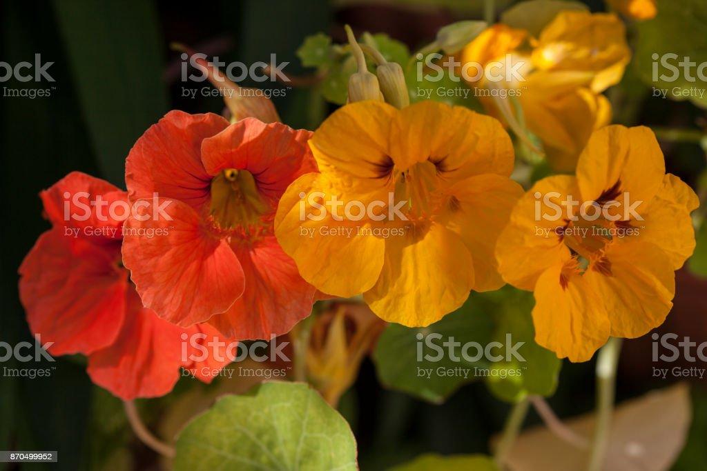 Tropaeolum Majus an Eatable Flower stock photo