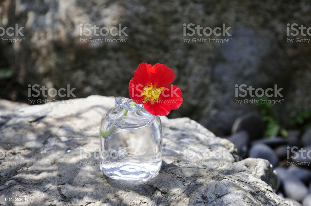 Tropaeolum majus flowers in glass vase stock photo