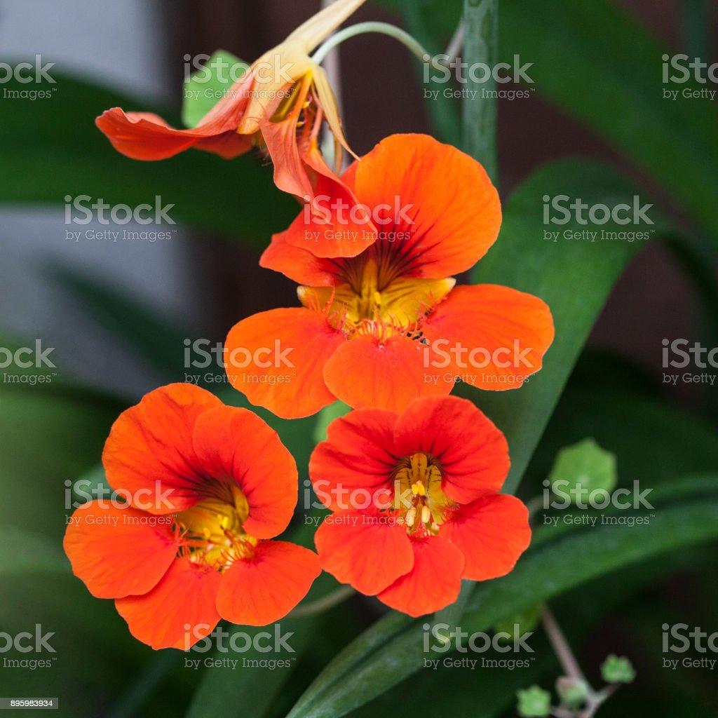 Tropaeolum Majus Garden Nasturtium Edible Flower stock photo