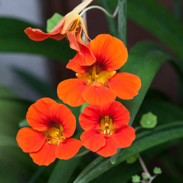 tropaeolum majus garden nasturtium edible flower - nasturtium stock photos and pictures