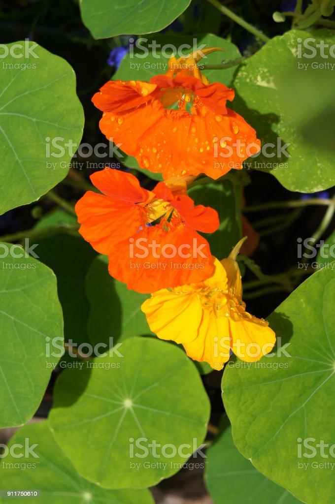 Tropaeolum majus or garden nasturtium or Indian cress or monks cress orange and yellow flowers with green vertical stock photo