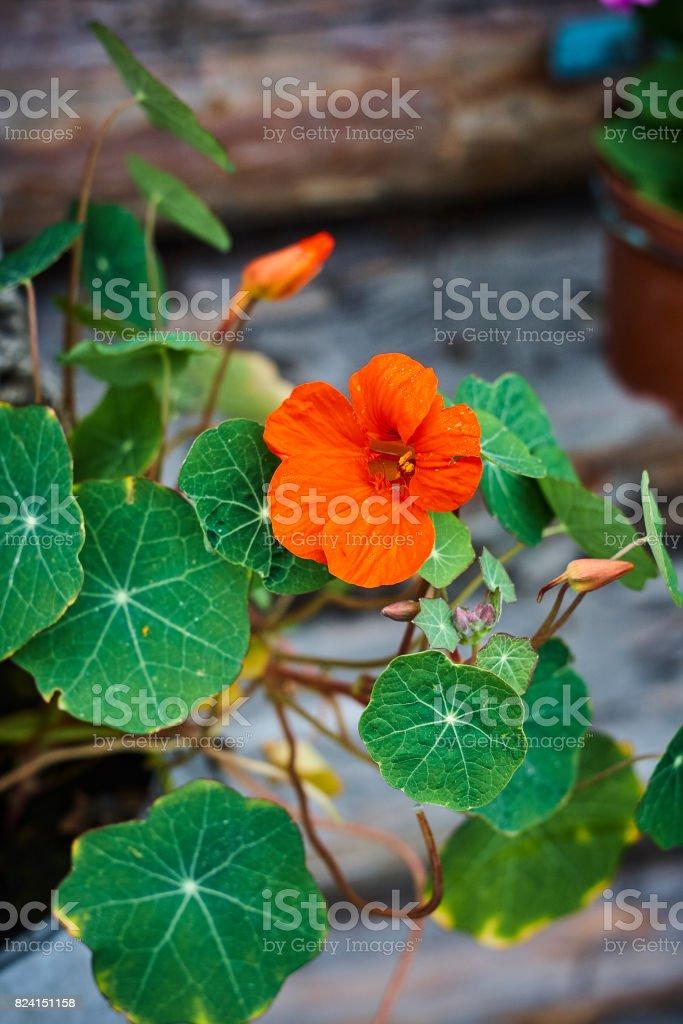 Tropaeolum nasturtium Indian cress red blossom and leaves close up stock photo