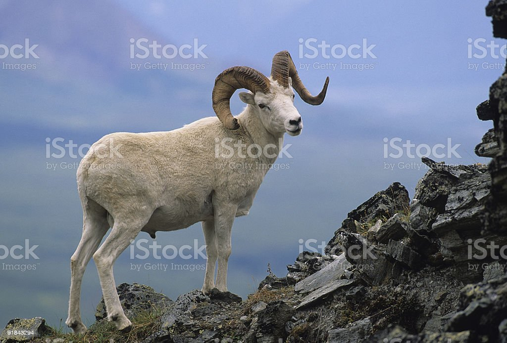 Trophy Dall Ram stock photo