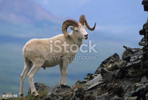 18 795 ram animal stock photos pictures royalty free images istock https www istockphoto com photos ram animal