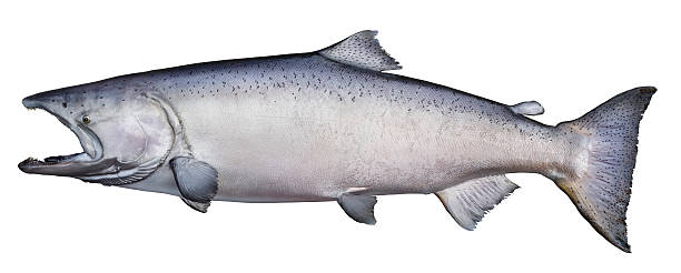 trophy king (chinook) salmon - chinook salmon stock photos and pictures