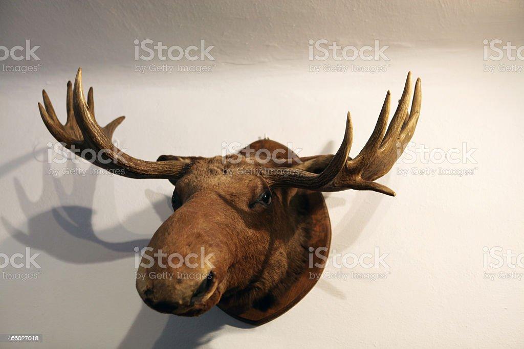 Trophy -  moose head stock photo