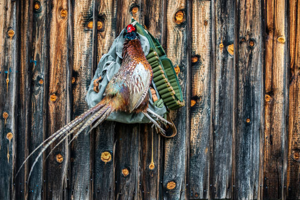 A trophy pheasant hanging from a nail in a wooden wall with a hunter's satchel and an ammo belt stock photo