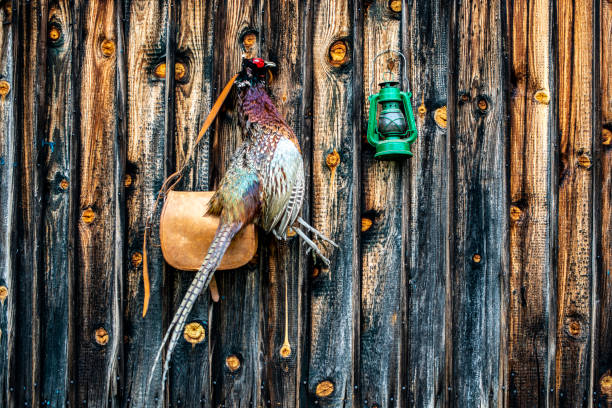 A trophy pheasant hanging from a nail in a wooden wall with a hunter's satchel and a green lantern stock photo