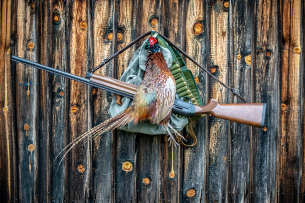 A trophy pheasant hanging from a nail in a wooden wall with a hunter's satchel, a shotgun and an ammo belt stock photo
