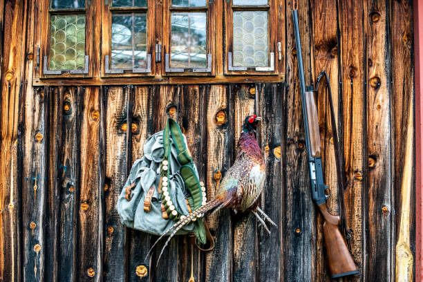 A trophy pheasant suspended from a nail in a wooden shack wall under a window with a hunter's backpack, a shotgun and an ammo belt stock photo
