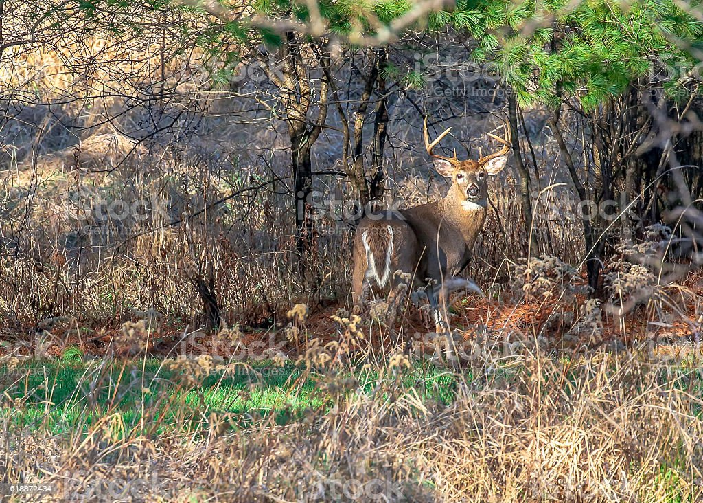 Trophy White-Tail deer at Rut stock photo