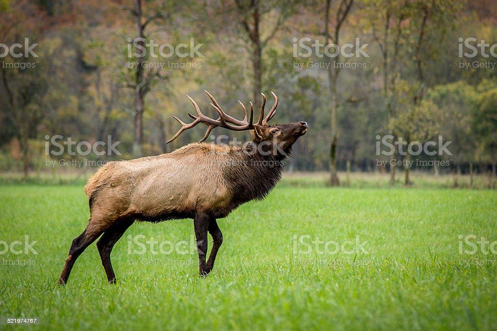Trophy-class Bull Elk stock photo