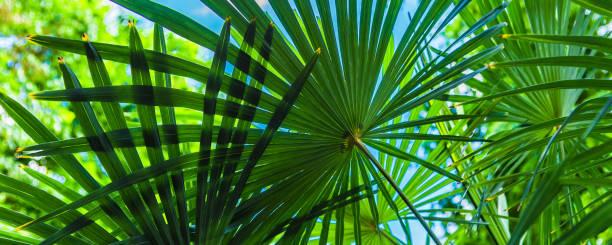 Fundo floral panorâmico tropical-as folhas de palmeira cobrem o céu em um dia ensolarado - foto de acervo