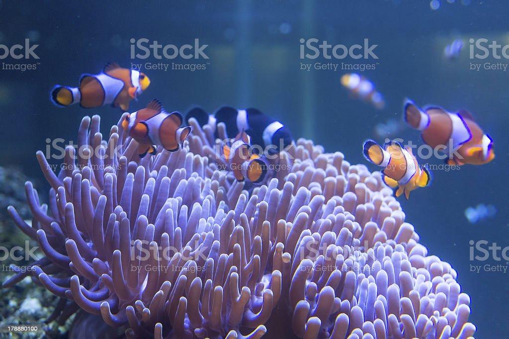 Tropica clown fish at aqaurium royalty-free stock photo