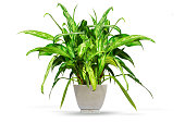 Tropical aglaonema shrub in flower pot isolated on white background. Evergreen decoration for home, office. Home plant for design project.