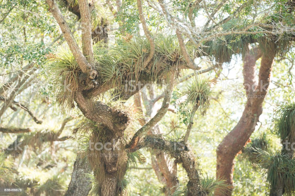 Tropical Air Plants Grow in Trees Coral Gables Miami Florida stock photo