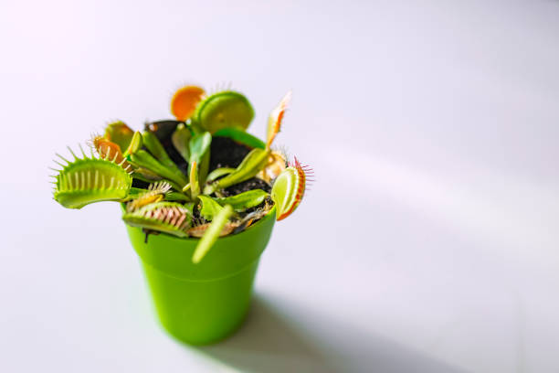 tropical and colorful venus flytrap - carnivora stock photos and pictures