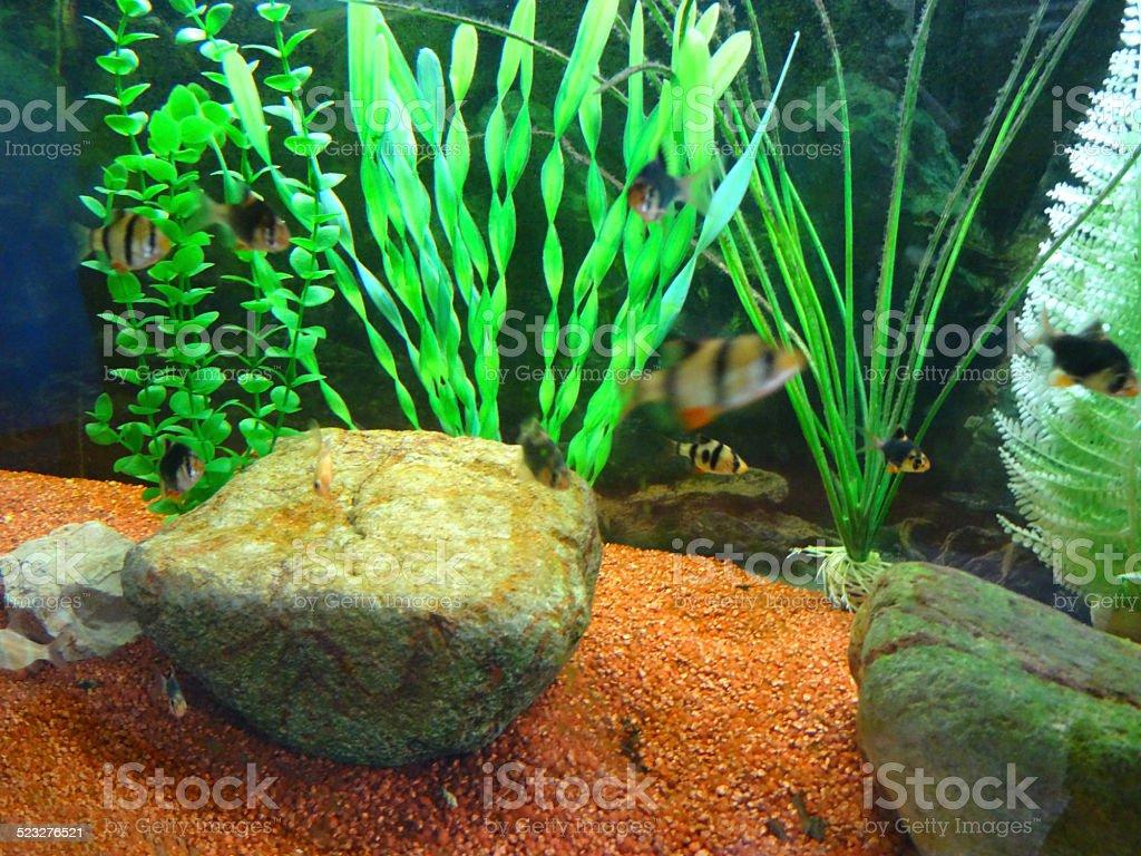 tropical aquarium fish tank image plastic plants gravel tiger barbs royaltyfree