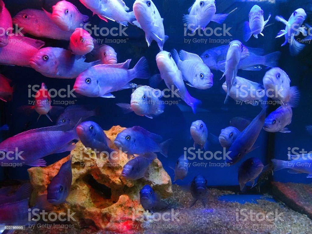 Tropical aquarium / freshwater fish tank image, blue male Malawi cichlids stock photo