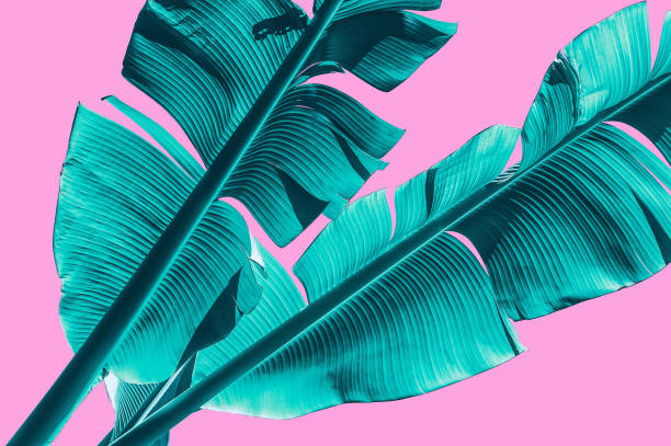 tropical banana palm leaf isolated on pink background with clipping for design elements. - foto stock