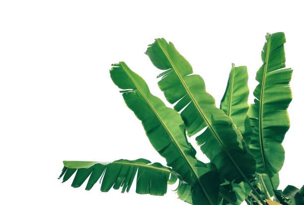 tropische palmen bananenblatt isoliert auf weißem hintergrund mit beschneidungspfad für design-elemente. - tropischer baum stock-fotos und bilder