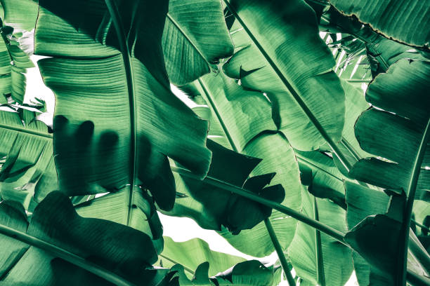 tropical banana palm leaf, low angle view, nature background stock photo