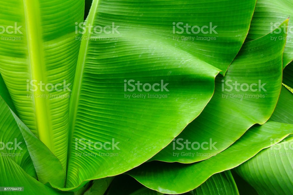 tropical banana palm leaf, natural green background stock photo