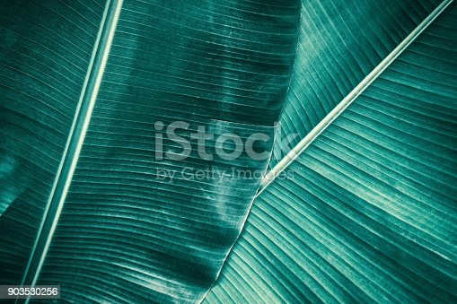 909846922 istock photo tropical banana palm leaf 903530256