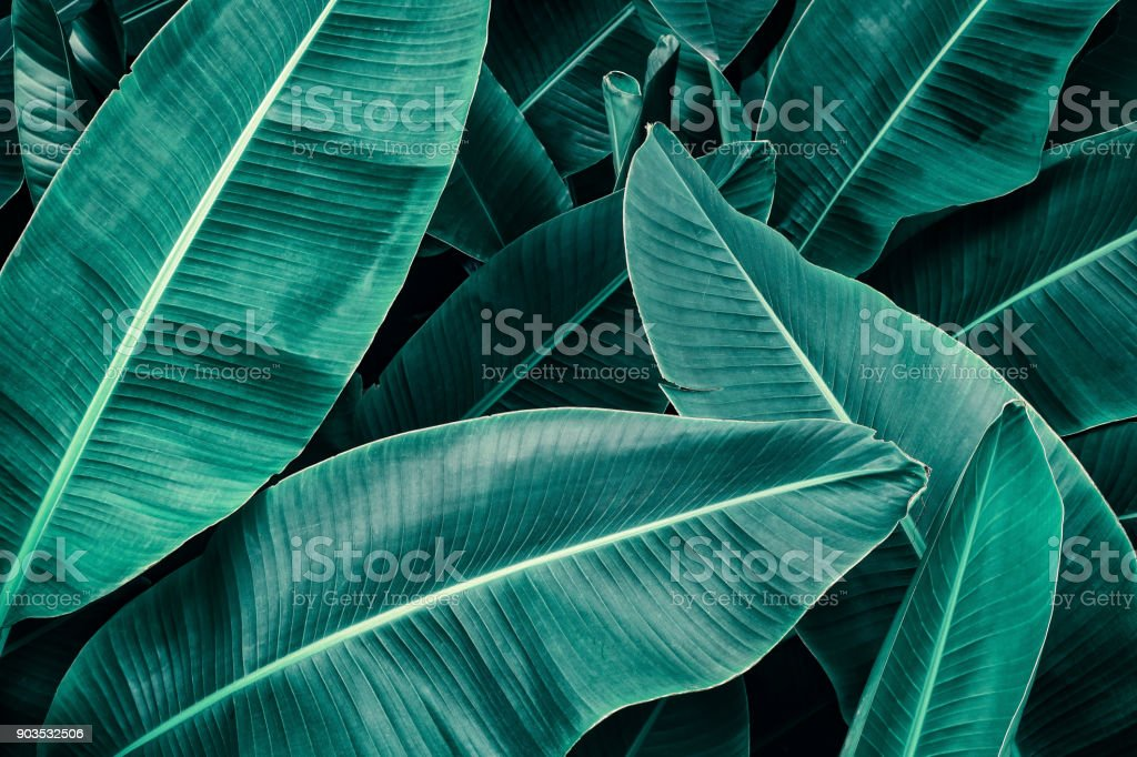 tropical banana palm leaf stock photo