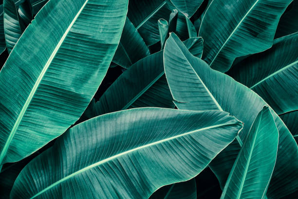 tropical banana palm leaf stock photo