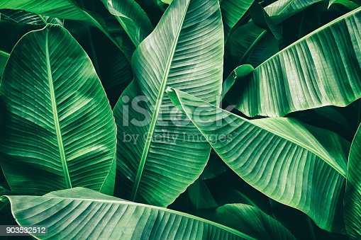 istock tropical banana palm leaf 903532512
