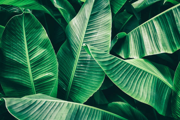 tropical banana palm leaf tropical palm leaves texture background, dark green toned lush foliage stock pictures, royalty-free photos & images