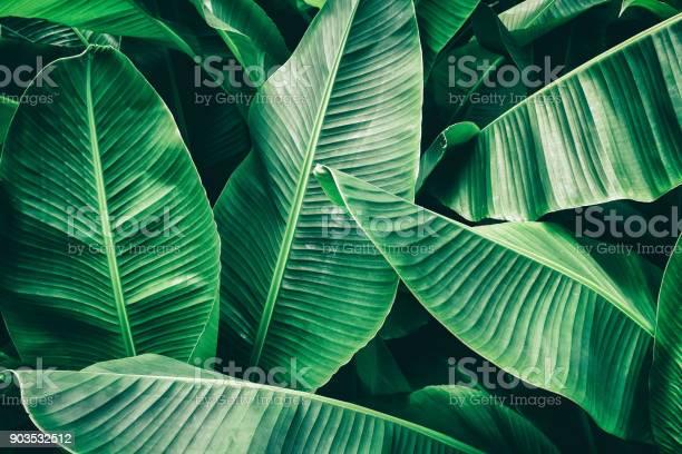 Photo of tropical banana palm leaf
