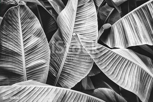istock tropical banana palm leaf 922764830