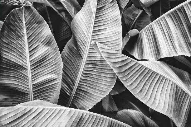 tropical banana palm leaf tropical banana leaf texture, large palm foliage nature background, black and white toned monochrome stock pictures, royalty-free photos & images