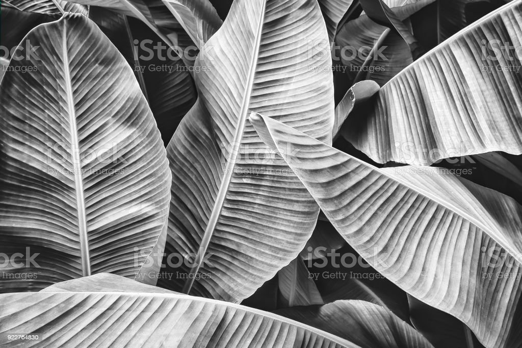 feuille de palmier tropical banane - Photo