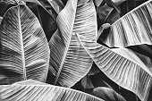 tropical banana palm leaf