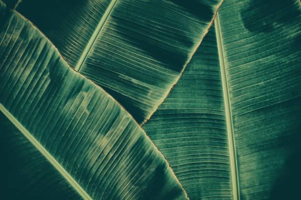 tropische Palmen Bananenblatt – Foto
