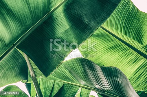 istock tropical banana palm leaf 947686996