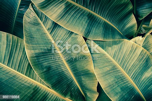 909846922 istock photo tropical banana palm leaf texture background 935119354