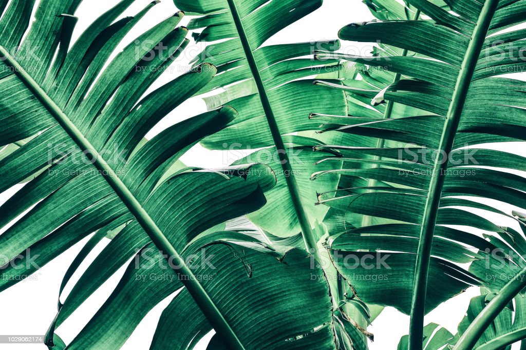 tropical banana palm leaf texture, dark green toned stock photo