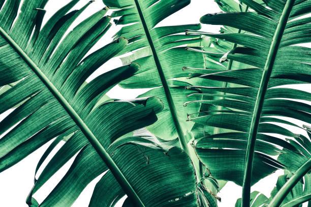 tropischen banane palm leaf textur, dunkelgrün getönt - tropischer baum stock-fotos und bilder